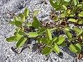 Starr-031108-0081-Ipomoea imperati-habit-South Lido Beach-Florida (24046237154).jpg