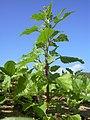 Starr-040125-0029-Chenopodium murale-habit-Kanaha Beach-Maui (24401783570).jpg
