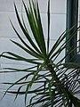 Starr-080531-4877-Dracaena marginata-habit-Halsey Dr around residences Sand Island-Midway Atoll (24792964942).jpg