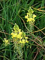 Starr-090417-6184-Bulbine frutescens-flowers-Pukalani-Maui (24584642129).jpg