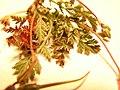 Starr-090504-7386-Erodium cicutarium-leaves-Science City-Maui (24836479552).jpg