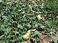 Starr-090519-8072-Lagenaria siceraria-fruiting habit-Native Nursery Kula-Maui (24327132953).jpg