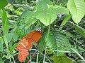 Starr-090617-0832-Sandoricum koetjape-leaves-Ulumalu Haiku-Maui (24330092274).jpg