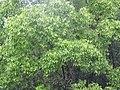 Starr-090618-1045-Syzygium jambos-habit-Hana Hwy-Maui (24597834009).jpg