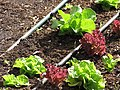 Starr-090707-2391-Lactuca sativa-different varieties in vegetable garden-Olinda-Maui (24969044395).jpg