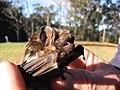 Starr-100907-9097-Eucalyptus sp-habitat with Hawaiian hoary bat Lasiurus cinereus semotus-Olinda-Maui (24683891359).jpg