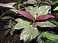 Starr-110209-0714-Graptophyllum pictum-leaves-Resort Management Group Nursery Kihei-Maui (24443765134).jpg