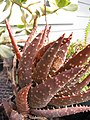 Starr-110215-0986-Aloe sp-habit-KiHana Nursery Kihei-Maui (24707467439).jpg