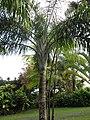 Starr-110330-3782-Dypsis madagascariensis-habit-Garden of Eden Keanae-Maui (24450050444).jpg