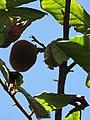 Starr-110330-4075-Theobroma grandiflorum-fruit-Garden of Eden Keanae-Maui (24963040572).jpg
