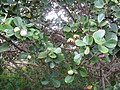 Starr-120319-9214-Clusia rosea-leaves and fruit-Enchanting Floral Gardens of Kula-Maui (25019876892).jpg