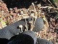 Starr-130801-2782-Matricaria discoidea-spent seed capsules-Summit HNP-Maui (25165977081).jpg