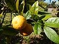 Starr-150112-3407-Citrus limonia-fruit and leaves-Hawea Pl Olinda-Maui (24968859550).jpg