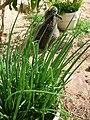 Starr-150325-0535-Allium fistulosum-in pots-Residences Sand Island-Midway Atoll (24898280789).jpg