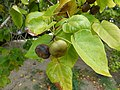 Starr-150327-0333-Thespesia populnea-leaves and nuts-Clipper House Sand Island-Midway Atoll (25174813741).jpg