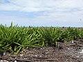 Starr-150403-1463-Crinum asiaticum-hedge-Near Pier Eastern Island-Midway Atoll (25159547622).jpg