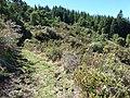Starr-170304-0228-Rubus niveus-invading shrubland-Boundary Trail Polipoli-Maui (33382241625).jpg