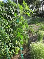 Starr-170603-8989-Solanum lycopersicum-Torpedo fruiting habit-Hawea Pl Olinda-Maui (37912346835).jpg