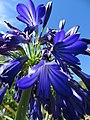 Starr-170923-0289-Agapanthus praecox subsp orientalis-flowers-Hawea Pl Olinda-Maui - Flickr - Starr Environmental.jpg