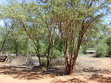 mesquite wiktionary