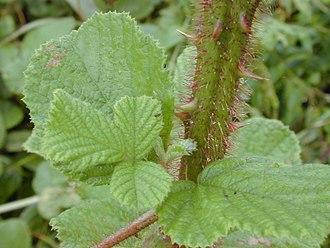 Rubus ellipticus - Prickly stem of R. ellipticus