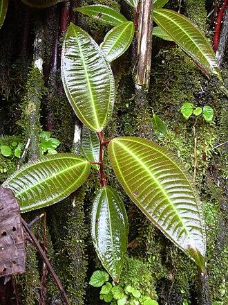 Miconia - Velvet tree (Miconia calvescens)