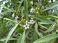 Starr 040513-0041 Myoporum sandwicense.jpg