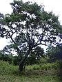 Starr 040514-0216 Leucaena leucocephala.jpg