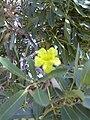 Starr 040925-0009 Tabebuia aurea.jpg