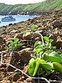 Starr 060405-6871 Jacquemontia ovalifolia subsp. sandwicensis.jpg