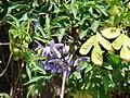 Starr 070228-4906 Solanum seaforthianum.jpg