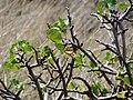 Starr 070404-6561 Hibiscus brackenridgei subsp. brackenridgei.jpg