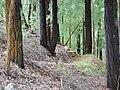 Starr 080504-4407 Eucalyptus sideroxylon.jpg