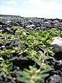 Starr 080602-5391 Chamaesyce maculata.jpg