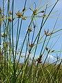 Starr 080604-6171 Cyperus polystachyos.jpg