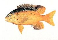 Stegastes leucostictus