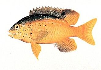 Stegastes leucostictus - Image: Stegastes leucostictus