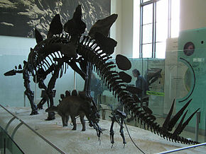 Description de l'image  Image:Stegosaurus_Struct.jpg .
