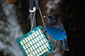 Steller's Jay on suet Seattle 2008.jpg