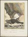 Stenorhynchus albiventer - 1700-1880 - Print - Iconographia Zoologica - Special Collections University of Amsterdam - UBA01 IZ21100177.tif