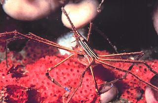 <i>Stenorhynchus seticornis</i> species of crustacean