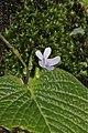 Streptocarpus polyanthus (Gesneriaceae) (6786075282).jpg