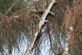 Description de l'image Stripe-cheeked Woodpecker (Piculus callopterus)a.jpg.