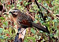 Striped Laughingthrush Trochalopteron virgatum by Dr. Raju Kasambe DSC 1524 (15).jpg