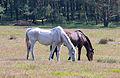 Stukenbrock - 2016-05-01 - Senner Pferde Moosheide (012).jpg