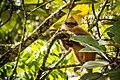 Sumatran Surili Subspecies Yellow-handed Mitered Langur (Presbytis melalophos melalophos).jpg
