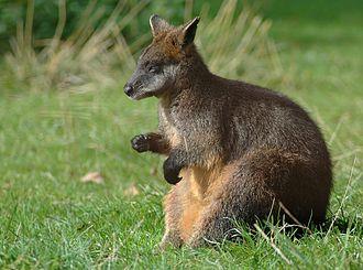 Australidelphia - A swamp wallaby