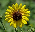 Sunflower (Helianthus).jpg