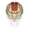 Superior frontal gyrus - anterior view.png