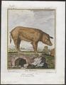 Sus scrofa domestica - 1700-1880 - Print - Iconographia Zoologica - Special Collections University of Amsterdam - UBA01 IZ21900115.tif